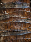 Detail of a Coconut palm trunk — Stock Photo