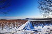 Viñedo en invierno — Foto de Stock