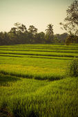 Rice field in Bali — Stock Photo