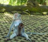 Monkeys in Ubud Bali — Stock Photo