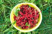 Berries of red viburnum in bucket — Stock Photo