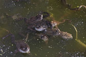 Common frog — Stock Photo
