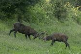 Red deer hert — Stockfoto