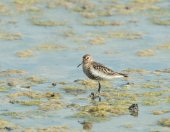 Dunlin — Stock Photo
