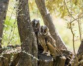 Long-eared Owls — Stock Photo