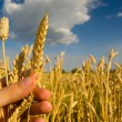 Farmers hand holding one stem of ripe wheat seeds — Stock Photo #57485873