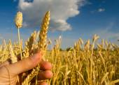 Boeren hand met een stam van rijp tarwe zaden — Stockfoto