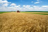 Harvester combine harvesting wheat on sunny summer day — Stock Photo