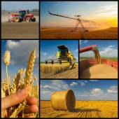 Agricultural collage representing phases of wheat production — Stock Photo