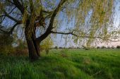 Summer landscape showing old willow tree on the meadow at dusk — Foto Stock