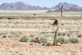 Springbok na namíbia — Foto Stock
