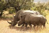 Masai Mara Rhino — Stock Photo