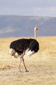 Masai Mara Ostrich — Foto de Stock
