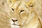 Masai Mara Lion — Stock Photo