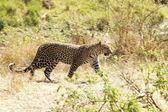 Masai Mara Leopard — Stock Photo