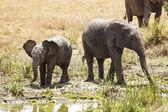 Masai Mara Elephants — Stock Photo