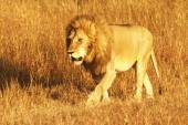 Masai Mara Lion — Stock Photo