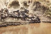 Masai Mara Wildebeast — Stock Photo