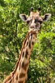 Masai Mara Giraffe — Stock Photo