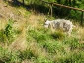 Shaggy Goat — Stock Photo