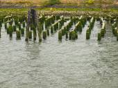 Abandoned Algae Covered Pier Logs with Sea Gulls — Stock Photo