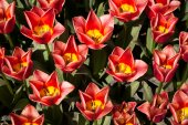 Red tulip flowers from top — Stock Photo