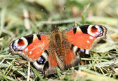 European Peacock butterfly — Stock Photo