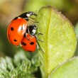 Ladybird insects pair mating — Stock Photo #70556673