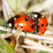 Ladybird insects pair mating — Stock Photo #72413781