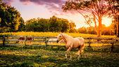 Palomino horses — Stock Photo