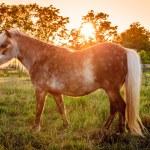 ������, ������: Shetland Pony