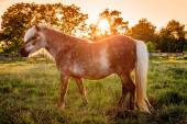 Shetland Pony — Stock Photo