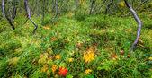 Islandic forest — Stock fotografie