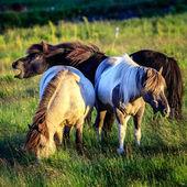 Ponies grazing on farm — Stock Photo