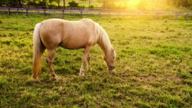 Beautiful palomino mare on farm — ストックビデオ