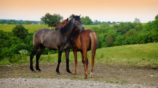 Two mares playing on farm — Vidéo