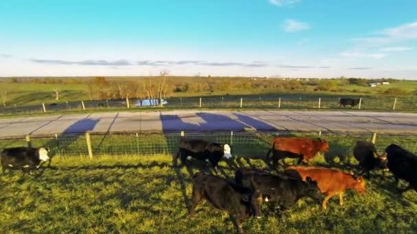 Cows running along fence on farm — Vidéo