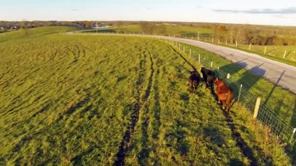 Cows running alon fence on farm — Vidéo