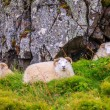 Sheep in Northwestern Iceland — Stock Photo #57758413