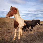 Icelandic ponies — Stock Photo