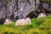Sheep in Northwestern Iceland — Stock Photo