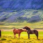 Icelandic ponies — Stock Photo #58277233