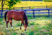 Chestnut mare on a farm — ストック写真