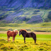 Ponies in the pasture — Stock Photo