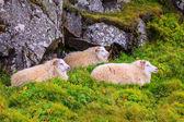 Three free range sheep — Stock Photo