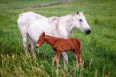 Mother horse with her colt — ストック写真