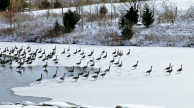 Canadian geese on small lake — ストックビデオ