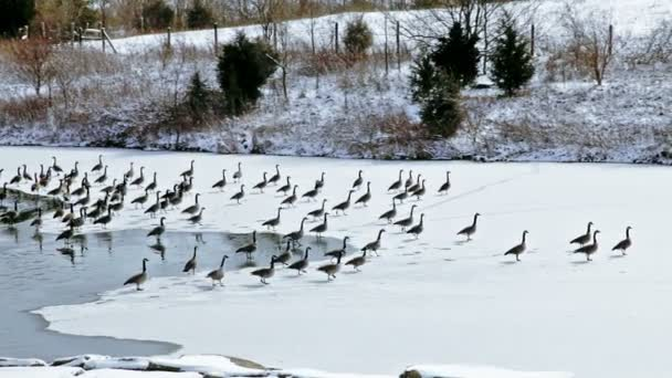 Canadian geese on small lake — Vidéo