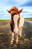Icelandic pony — Stock Photo