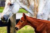 White horse and her colt — Stock Photo